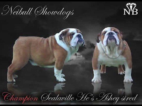 english bulldog stud dog Now and Then Neibull